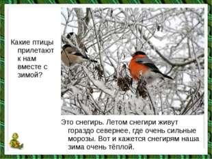 Какие птицы прилетают к нам вместе с зимой? Это снегирь. Летом снегири живут