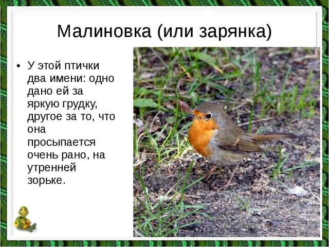 Малиновка (или зарянка) •У этой птички два имени: одно дано ей за яркую груд...