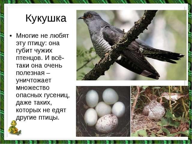 Кукушка •Многие не любят эту птицу: она губит чужих птенцов. И всё-таки она...