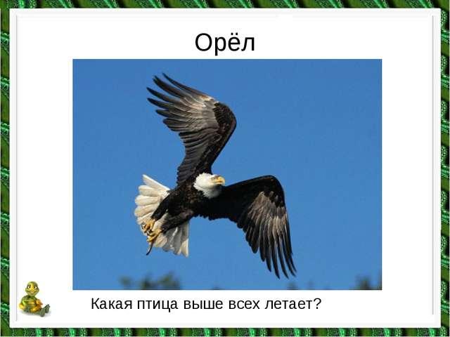 Орёл Какая птица выше всех летает?