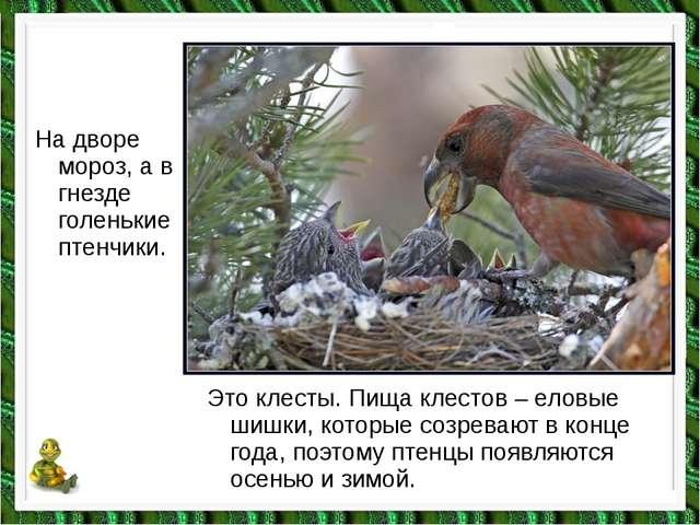 На дворе мороз, а в гнезде голенькие птенчики. Это клесты. Пища клестов – ело...
