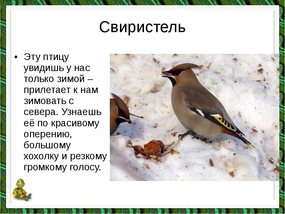 Свиристель •Эту птицу увидишь у нас только зимой – прилетает к нам зимовать...