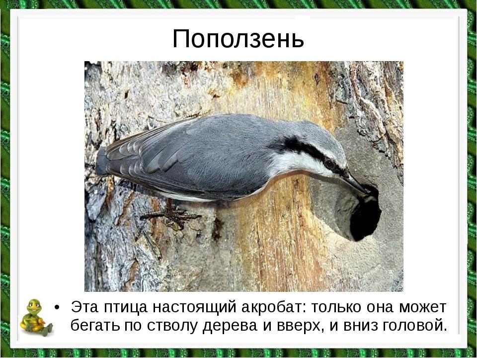 Поползень •Эта птица настоящий акробат: только она может бегать по стволу де...