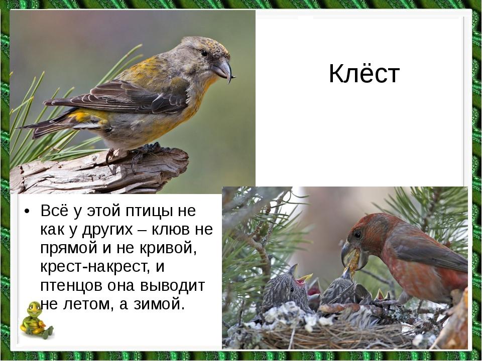 Клёст •Всё у этой птицы не как у других – клюв не прямой и не кривой, крест-...