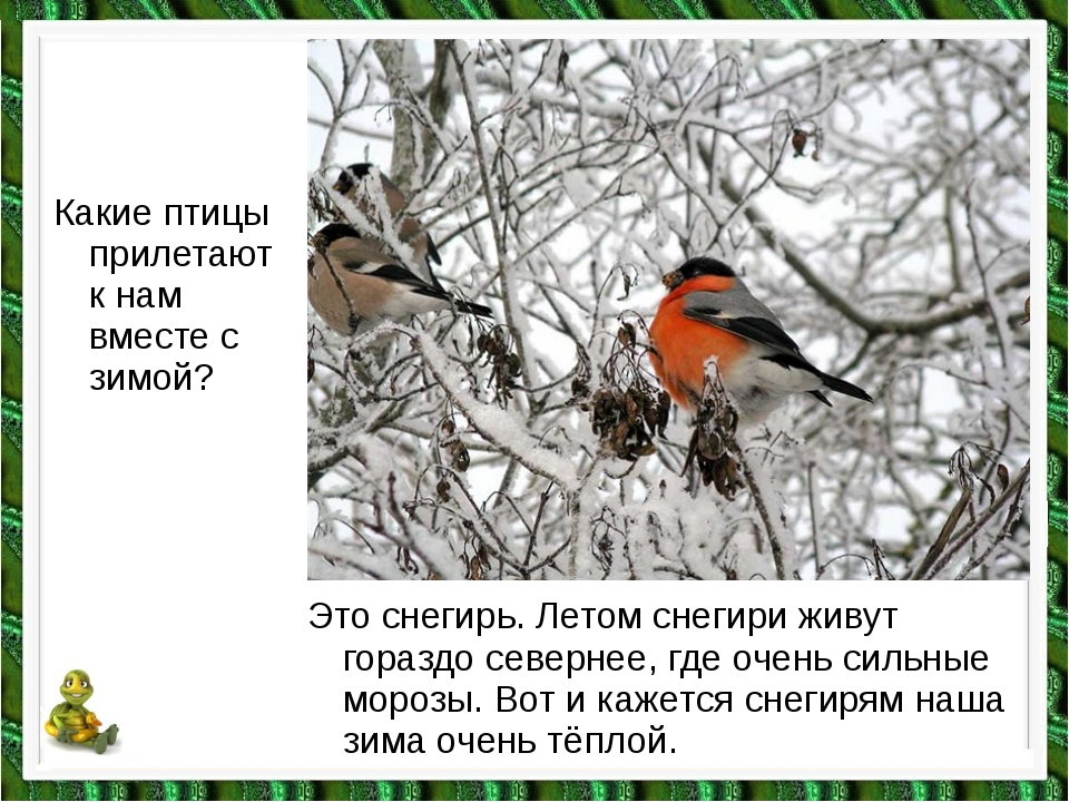 Какие птицы прилетают к нам вместе с зимой? Это снегирь. Летом снегири живут...