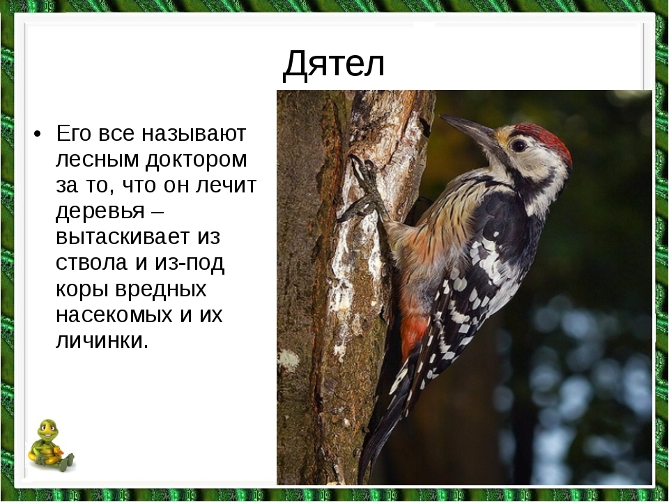 Дятел •Его все называют лесным доктором за то, что он лечит деревья – вытаск...