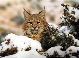Рысь. Felis lynx Linnaeus = Рысь. Кошачьих
