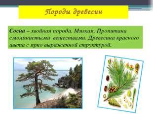 Породы древесин Сосна – хвойная порода. Мягкая. Пропитана смолянистыми вещест