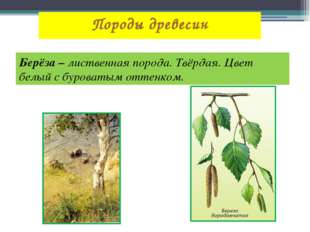 Породы древесин Берёза – лиственная порода. Твёрдая. Цвет белый с буроватым о