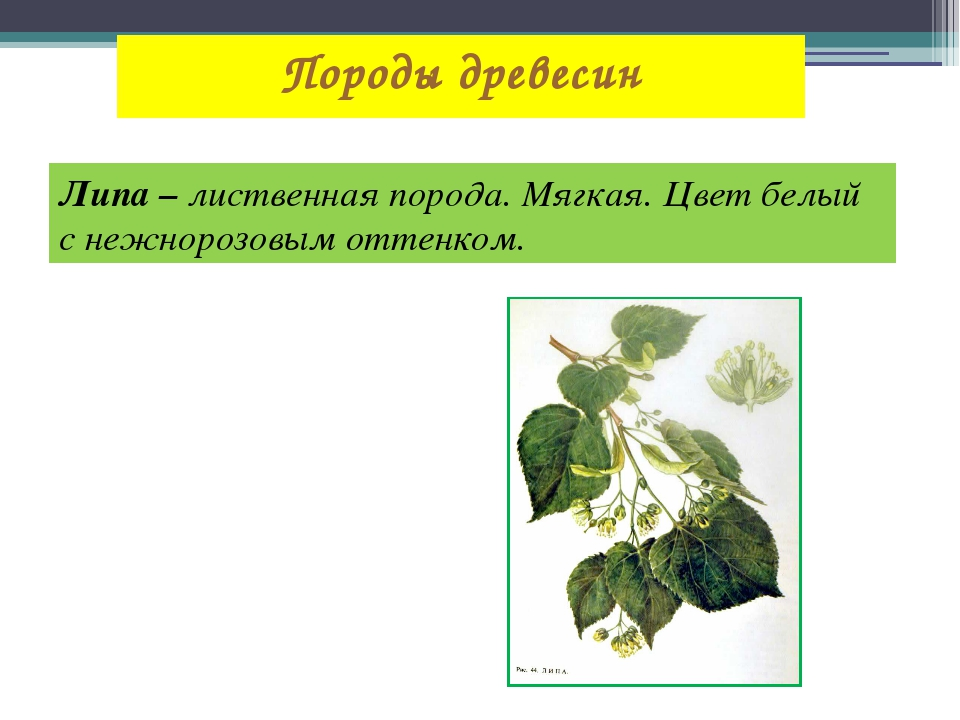 Породы древесин Липа – лиственная порода. Мягкая. Цвет белый с нежнорозовым о...