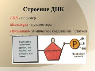 Строение ДНК ДНК - полимер. Мономеры - нуклеотиды. Нуклеотид- химическое соед