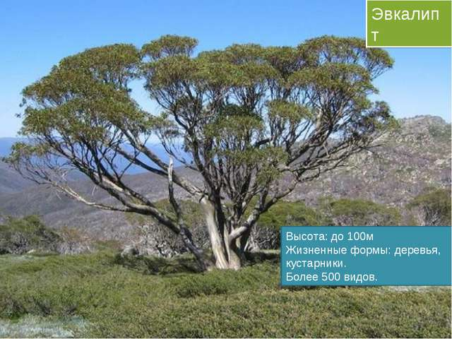 Эвкалипт Высота: до 100м Жизненные формы: деревья, кустарники. Более 500 видов.