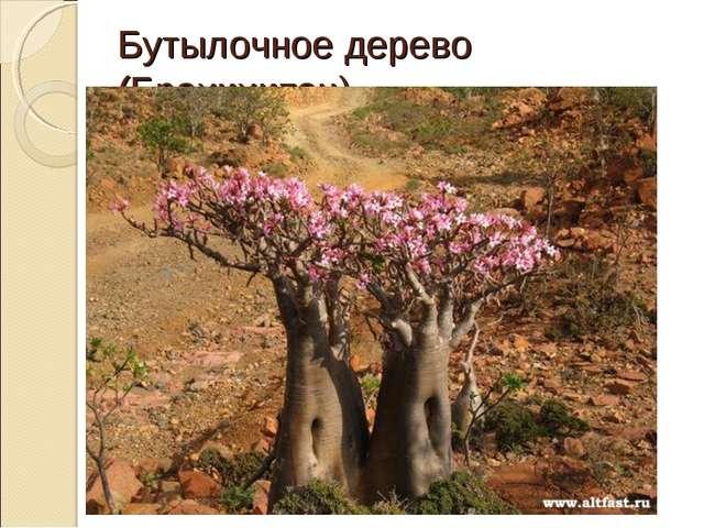 Бутылочное дерево (Брахихитон)