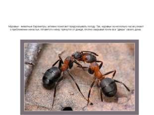 Муравьи - животные барометры, активно помогают предсказывать погоду. Так, мур
