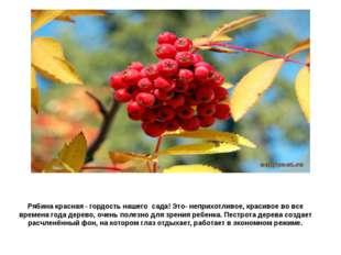 Рябина красная - гордость нашего сада! Это- неприхотливое, красивое во все вр