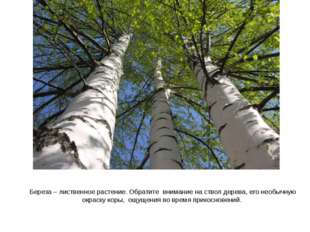 Береза – лиственное растение. Обратите внимание на ствол дерева, его необычну