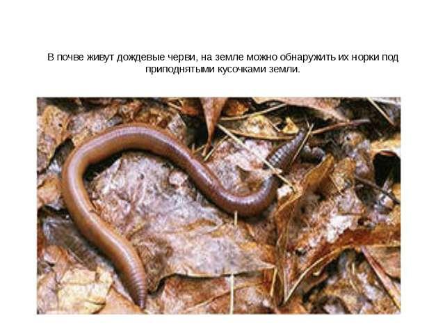 В почве живут дождевые черви, на земле можно обнаружить их норки под приподня...