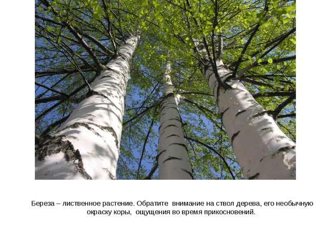 Береза – лиственное растение. Обратите внимание на ствол дерева, его необычну...