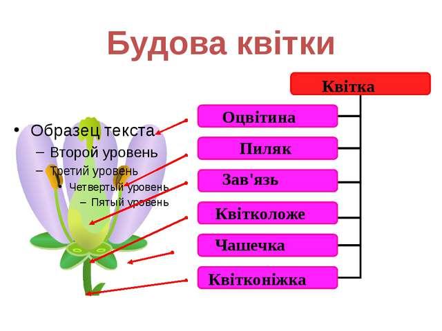 Будова квітки Оцвітина Пиляк Зав'язь Квітколоже Квітконіжка Чашечка Квітка Да...