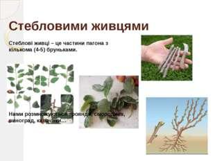 Листковими живцями Листкові живці – це листки або їхні частинки, які дають по