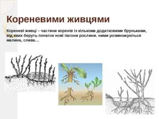 Поділ куща У рослинництві широко використовують даний спосіб вегетативного ро