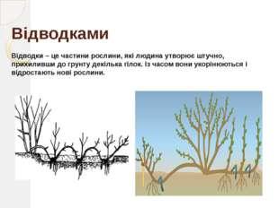 Відсадками Відсадки – це молоді рослини, які відростають від дорослої рослини