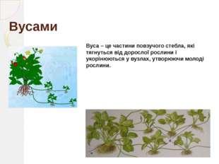Виводковими бруньками Виводкові бруньки зустрічаються у рослин не часто. Це н