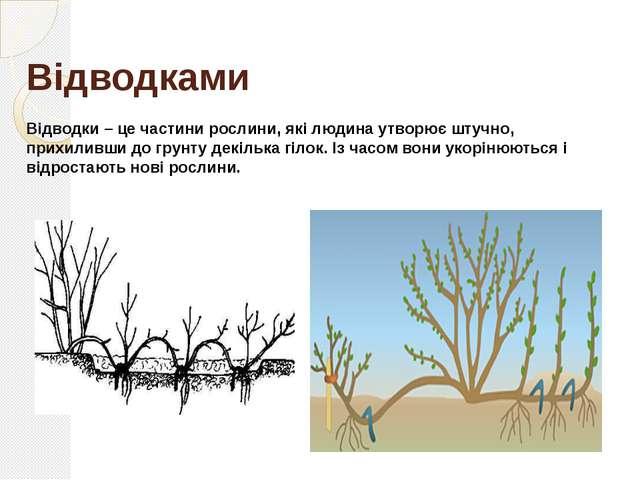 Відсадками Відсадки – це молоді рослини, які відростають від дорослої рослини...