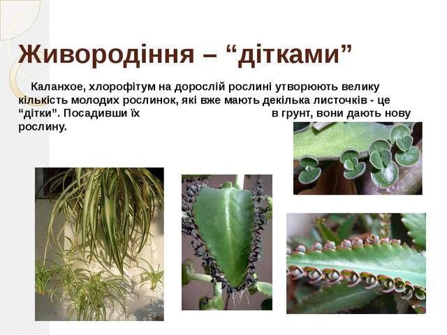 Щеплення Щеплення – це зростання живців однієї рослини – прищепи з іншою вкор...