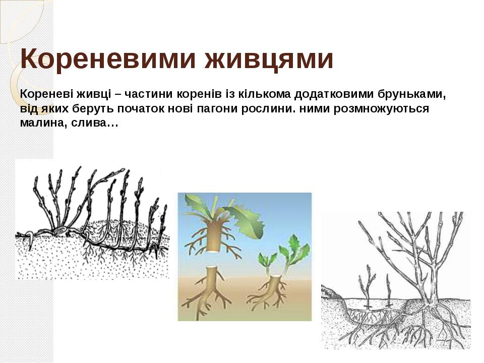 Поділ куща У рослинництві широко використовують даний спосіб вегетативного ро...