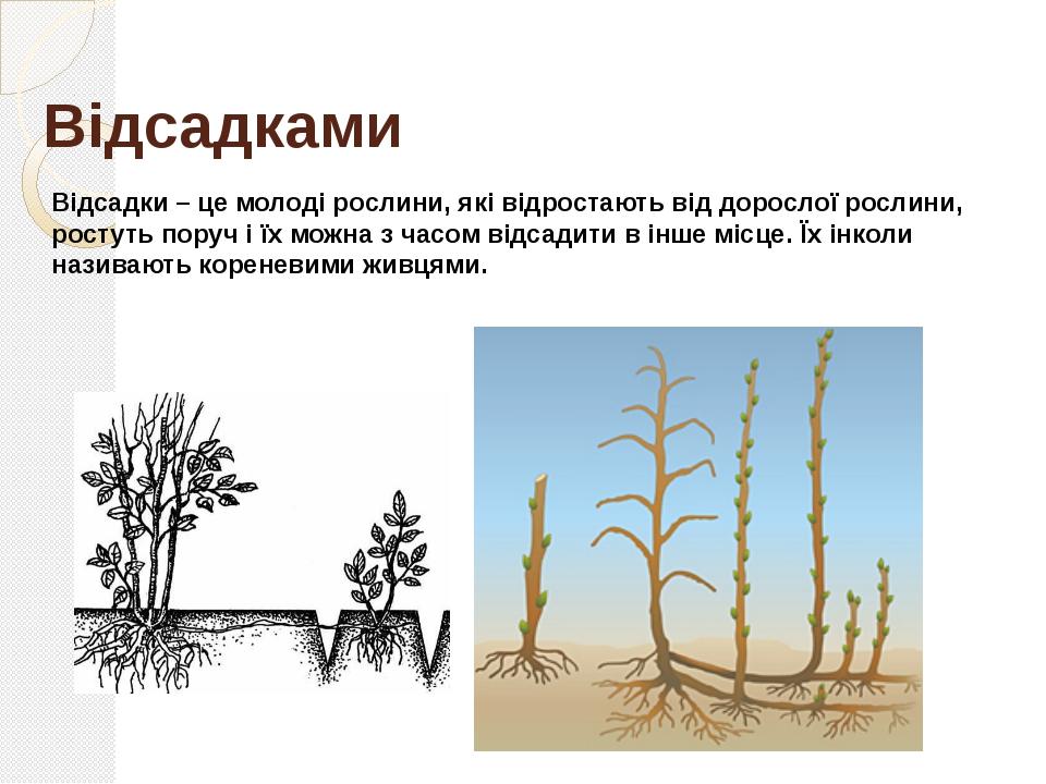 Вусами Вуса – це частини повзучого стебла, які тягнуться від дорослої рослини...