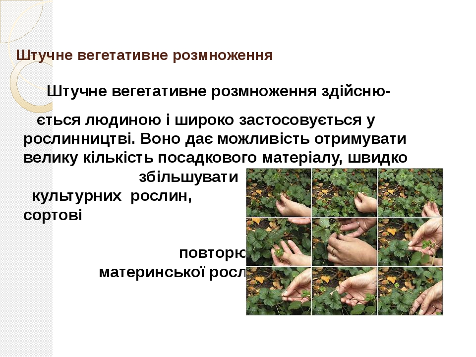 Основа вегетативного розмноження Вегетативне розмноження грунтується на явищ...
