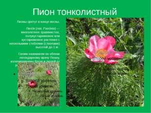 Пион тонколистный Пионы цветут в конце весны. Пио́н (лат.Paeónia)— многолет