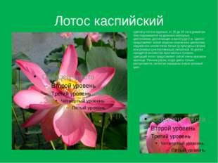 Лотос каспийский Цветки у лотоса крупные, от 25 до 30 см в диаметре. Они подн