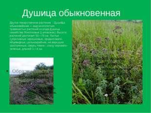 Душица обыкновенная Другое лекарственное растение - Души́ца обыкнове́нная— в