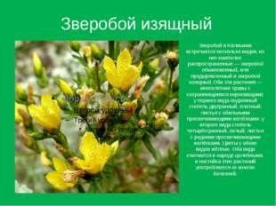 Зверобой изящный Зверобой в Калмыкии встречается несколько видов, из них наиб