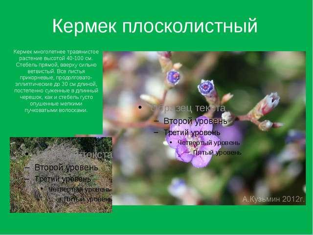 Кермек плосколистный Кермек многолетнее травянистое растение высотой 40-100 с...