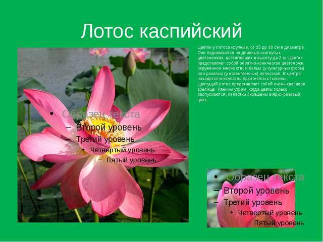 Лотос каспийский Цветки у лотоса крупные, от 25 до 30 см в диаметре. Они подн...