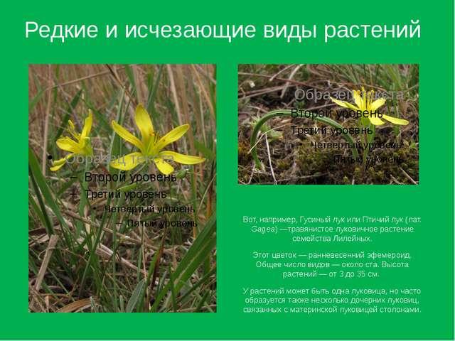 Вот, например, Гусиный лук или Птичий лук (лат. Gagea) —травянистое луковично...