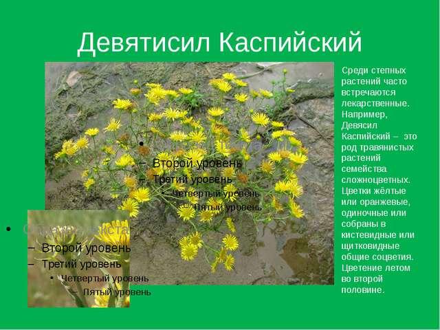 Девятисил Каспийский Среди степных растений часто встречаются лекарственные....