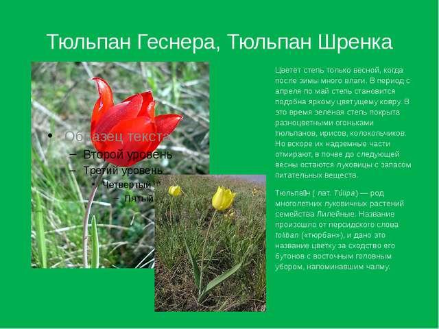 Тюльпан Геснера, Тюльпан Шренка Цветёт степь только весной, когда после зимы...