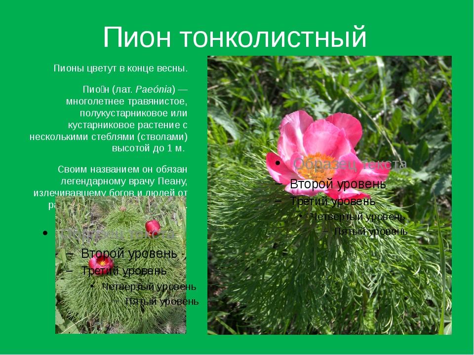 Пион тонколистный Пионы цветут в конце весны. Пио́н (лат.Paeónia)— многолет...