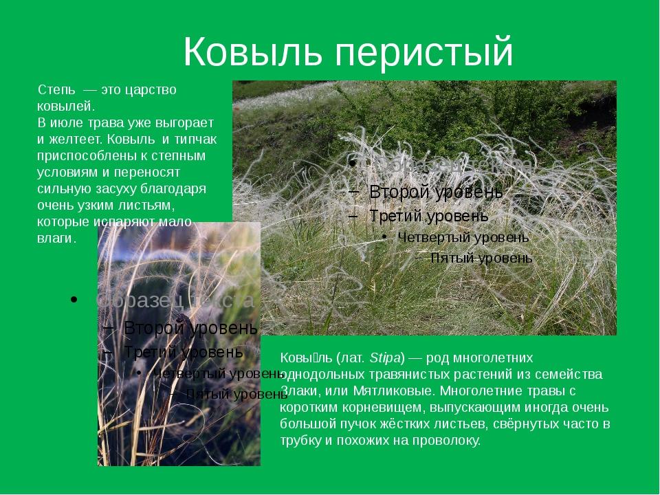 Ковыль перистый Ковы́ль (лат.Stipa)— род многолетних однодольных травянисты...