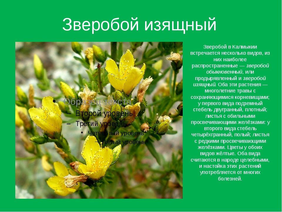 Зверобой изящный Зверобой в Калмыкии встречается несколько видов, из них наиб...