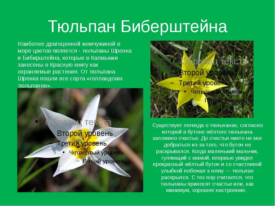 Тюльпан Биберштейна Наиболее драгоценной жемчужиной в море цветов является -...