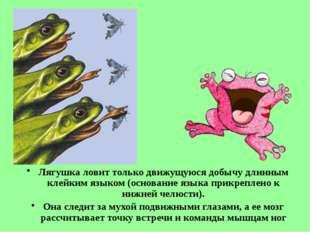 Лягушка ловит только движущуюся добычу длинным клейким языком (основание язык