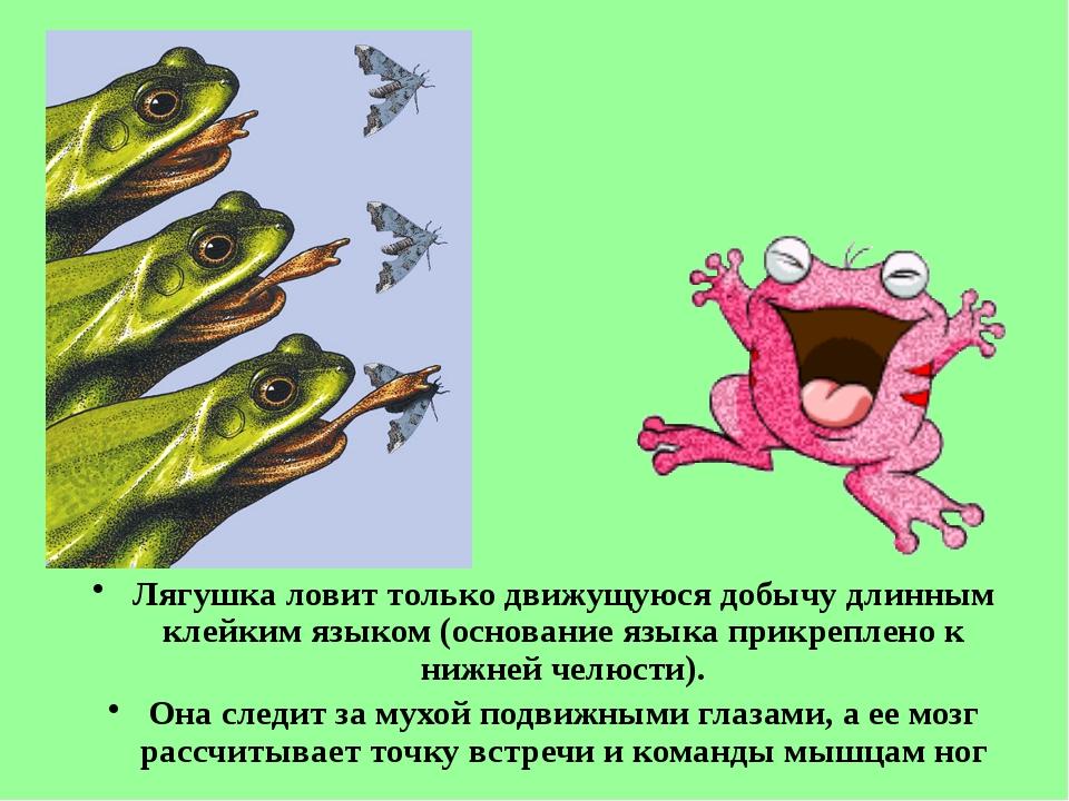 Лягушка ловит только движущуюся добычу длинным клейким языком (основание язык...
