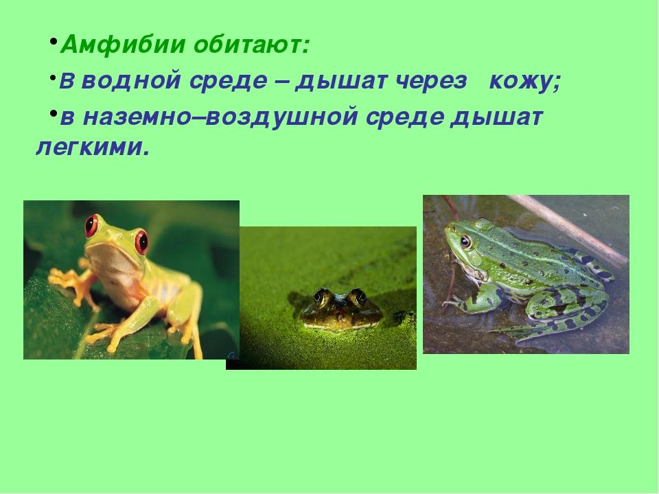 Амфибии обитают: В водной среде – дышат через кожу; в наземно–воздушной среде...