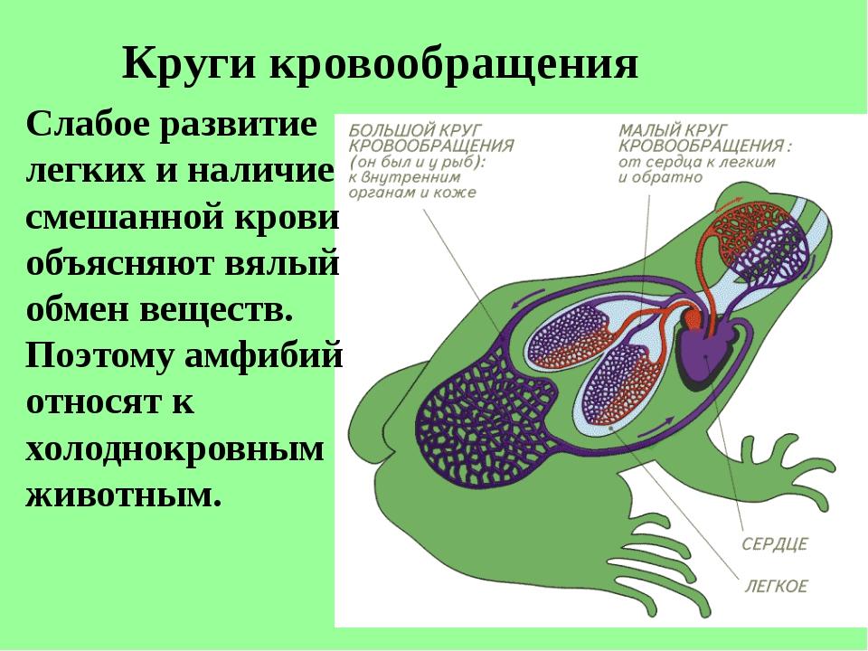 Круги кровообращения Слабое развитие легких и наличие смешанной крови объясня...