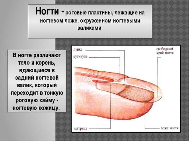 Ногти - роговые пластины, лежащие на ногтевом ложе, окруженном ногтевыми вали...